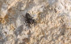 Bianor maculatus (dustaway) Tags: nature australia nsw arthropoda arachnida araneae jumpingspiders salticidae araneomorphae australianspiders northernrivers bianormaculatus
