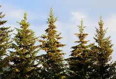 Spruce Yard (Erkhembayar Baasanbazar) Tags: sunlight fir spruce greenness