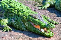 Don't even think about smiling at me (Pat Charles) Tags: crocodile croc crocodylinae crocodilia alligator gator reptile relax relaxing mouth teeth sharp broome westernaustralia wa cablebeach australia travel tourism nikon 1001nights 1001nightsmagiccity