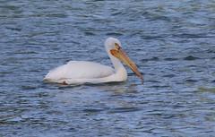 American White Pelican  1399 (robenglish64) Tags: americanwhitepelican