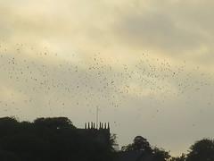 Murmuration (waldopepper) Tags: birds murmuration haworth