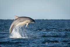 Moray Firth Dolphin (cjdolfin) Tags: nature mammal scotland marine alba dolphin wildlife scottish highland splash marinemammal morayfirth cetacean bottlenosedolphin tursiopstruncatus fortrose rossshire chanonrypoint cjdolfin odontocete