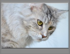 Maine Coon cat (eagle1effi) Tags: slr cat nikon maine grace coon dslr breathtaking silvana miezi 8g eagle1effi nikonbest d5100 nikonafsnikkor50mm11 nikond5100 bestofnikond5100 d5100best