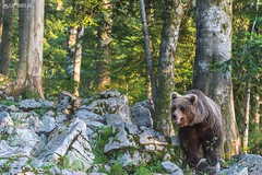 Brown bear 6 - Slovenia (Sinar84 - www.captures.ch) Tags: 2016 animal bear black blue brown brownbear cliff europa juni karst kocevska notranjska notranjskaregionalpark orange red rock slovenia slovenianbearscom summer trees white
