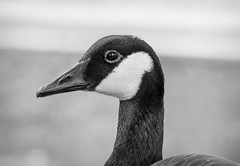 Canadian Goose I (Photato Jonez) Tags: red summer eye alex water birds animals june river campus geese duck nikon day state zoom michigan beak feathers feather lansing ducks sunny canadian goose east cedar aquatic midday banks d3300
