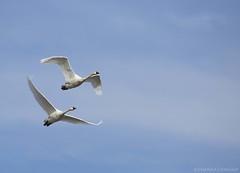 Tundra Swan E (martinaschneider) Tags: ontario bird birds swan flight bluesky aylmer tundraswan