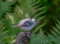 White-breasted Nutchatch (Summerside90) Tags: birds birdwatcher whitebreastednuthatch june summer backyard garden nature wildlife ontario canada