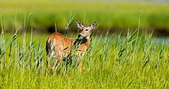 White-Tail Doe (paulv2c) Tags: morning wild nature grass animal female reeds mammal li doe longisland deer marsh southampton