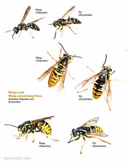 Wasps and Wasp-mimicking Flies - Vespidae and Syrphidae (DaveHuth) Tags: myn composite flies mimic mimickry potterwasp wasps yellowjacket