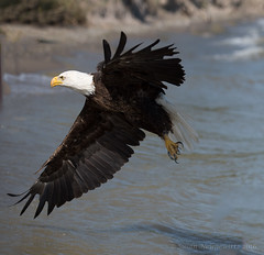 American Bald eagle (Susan Newgewirtz) Tags: bird eagle outdoor wildlife feathers raptor oiseau americanbaldeagle wildlifephotography