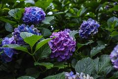DP2Q4001lr (yoshitoshi ABe) Tags: flower sigma    dp2quattro 20160625