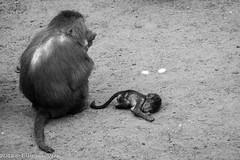 Dierenpark amersfoort-5443 (ellyvveen) Tags: nederland gelderland landen dierenparkamersfoort mantelbaviaan dierentuindieren