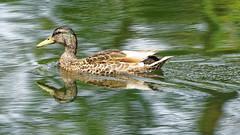 DSC08731_DxO-1600Q96_3cl (Franck Zumella) Tags: reflection bird water rouge duck eau teal mallard bec reflexion oiseau canard brun mottled redbilled