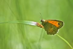 Papillon Amaryllis - Pyronia thitonus (Denis Vandewalle) Tags: macro green nature bokeh papillon insecte macrophotography pentaxk5