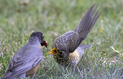 Feed Me! (dcnelson1898) Tags: california male bird robin female couple feeding zoom mate avian elkgrove