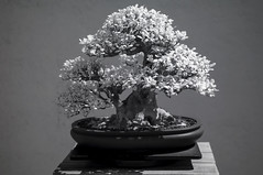 DSC_3881s (An Xiao) Tags: arboretum bonsai penjing