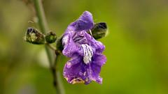 Day 6 26 Logan Botanic Garden purple flower (bob watt) Tags: uk june canon scotland 7d 2016 18135mm loganbotanicgarden canoneos7d kirkcudbrightholidayjune2016