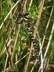 Golden-ringed Dragonfly (Roger B.) Tags: insect dragonfly unitedkingdom sheffield southyorkshire odonata cordulegasterboltonii goldenringeddragonfly rocherwood