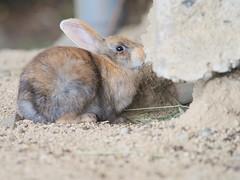 B6250734 (VANILLASKY0607) Tags: rabbit bunny bunnies nature animal japan photo wildlife wildanimal hydrangea rabbits rabbitisland wildrabbit okunoshima