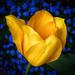 Yellow+Tulip