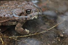 Toad! (EllenJo) Tags: arizona water animal digital amphibian az drain toad canonrebel gutter drainage clarkdale deserttoad ellenjo