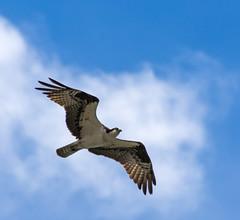 Osprey (dan.weisz) Tags: middleforksalmonriver idaho dailyrayofhope2016 droh