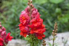 Snap - New flowers (Steve-h) Tags: antirrhinum majus snapdragons natural natureleza nature natura natur new plants flowers blossoms colour colours red orange gold yellow green leaves outdoors bright depthoffield dof bokeh digital exposure canon camera lens eos 5dmkii 100mm macro dublin ireland europe eu planet earth irish eire summer july 2016 sun sunshine sunlight rain clouds steveh suburban garden horticulture flowerbed allrightsreserved