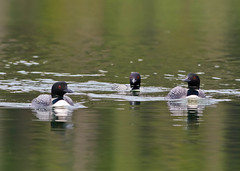 Common Loon (Gavia immer) 0F3A6102 (Dale Scott.) Tags: albertacanada jaspernationalpark commonloon gaviaimmer
