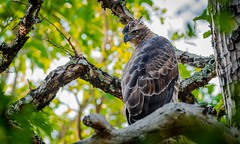 """Changeable Hawk Eagle-Juvenille"" (Sudeep Nandi) Tags: wild eagle foliage raptor treetop juvenille greenbackground changeablehawkeagle birdsbirdsbirds eaglefamily nikon200500"