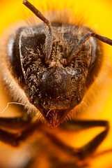 (Jorge Ibarra L.) Tags: macro field dof bee campo abeja depth 41 diffraction magnification profundidad difraccion magnificacion