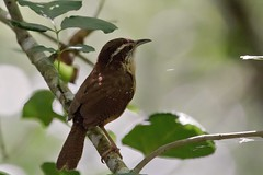 Carolina Wren (Linda Bushman) Tags: florida corkscrew