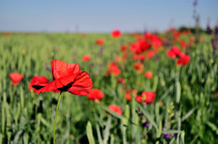 Red poppy flover (Aleksandar Jeftic) Tags: life flowers blue red wild summer sky sun plant flower color green nature floral beautiful beauty field grass clouds rural scarlet garden season landscape countryside leaf spring purple natural blossom gardening outdoor meadow sunny clear poppy bloom agriculture herb herbal cloudscape herbage aroma