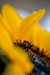 Sunny Tears (Images by April) Tags: collage canon sunny yellowflower sunfloer 550d t2i picmonkey