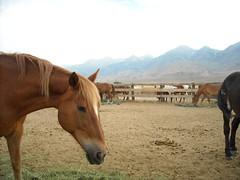 Owens Valley Horse Drives 2012 (adzamba) Tags: california horses horse usa unitedstates independence mules bishop cavalli cavallo mule mulo owensvalley muli rockcreeklake horsedrive rockcreekpackstation horsesdrive owensvalleyspringhorsedrive