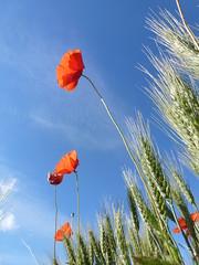 P1000027 (gzammarchi) Tags: verde italia colore natura campagna fiore paesaggio ravenna grano papavero spiga lidodidante