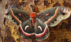 The Cecropia Moth (Hyalophora cecropia) (Wawa Duane) Tags: ontario canada castle chicken beer naked boobs native howard north moth an lips farms stern americas wawa largest areshole