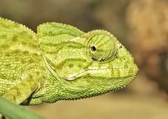 Camaleón común (alcedofoto.) Tags: