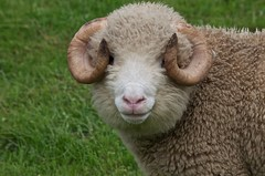 sheep with curly horns (LindaaFraser) Tags: coat horns curly curlyhorns