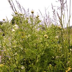 Anthemis cotula (DigPeter) Tags: uk england unitedkingdom asteraceae wildplants hants anthemiscotula peterphoto nwhants ashleywarren