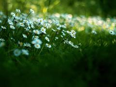 Summer Walk (Amble180) Tags: wild panasonic northumberland about g3 warkworth minoltarokkor50mmf17