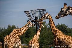 Safari park beekse bergen (14 of 34) (Mastermindzh) Tags: animals gorilla rick safari giraffe bergen van tijger aap vogel safaripark lieshout leeuw zwijn beekse