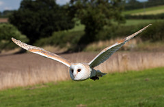 Market Bosworth Battlefield Centre (norman-bates) Tags: bird raptor owl barnowl birdsofprey falconry marketbosworth hawkwise