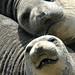 3rd Place - Fauna - Linda Martin - Elephant Seals