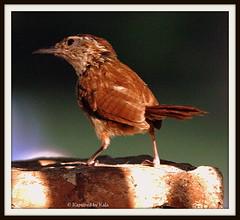 Carolina Wren (Kaptured by Kala) Tags: summer bird nature wren kala carolinawren kalaking kapturedbykala