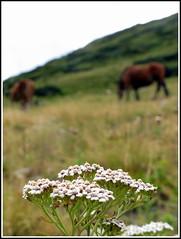 Fleur de carotte...! (LILI 296 ...) Tags: fleur montagne cheval bokeh champs ciel andorre canonpowershotg12