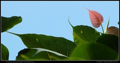 FICUS RELIGIOSA (Smit Sandhir) Tags: green flora tombs 2013 delhihistory