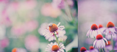 The Flower and the Bee.. (Ernie Kwong Photography) Tags: life pink light summer toronto ontario canada flower nature closeup nikon diptych soft dof purple pastel f14 g wildlife july 85mm bee coneflower dreamy delicate pure edwardsgarden doortodoor d700