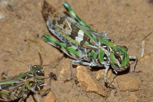 Couple of Grasshoppers (Oedaleus decorus)