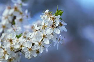 Bloom (Prunus subgenus Prunus)
