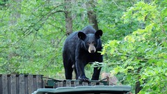 Black Bear momma in the dumpster. (Jim Mullhaupt) Tags: bear female dumpster forest garbage woods russell pennsylvania warren campground deepwood blackbear mullhaupt jimmullhaupt
